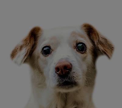 Se você fosse um cachorro, de que raça seria?